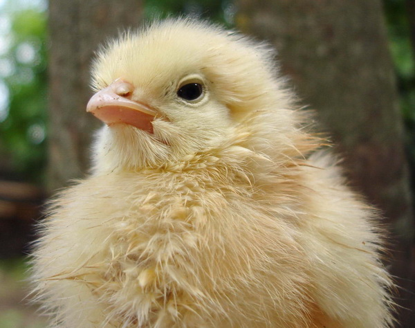 цыпленок без инкубатора