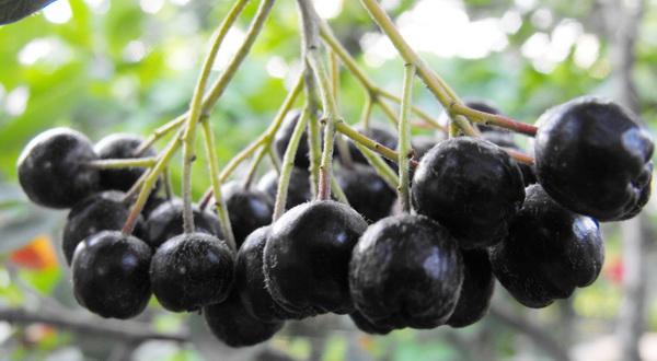Черноплодная рябина, свойства