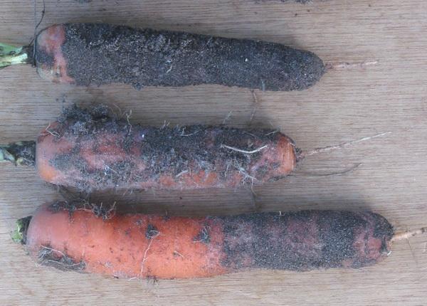Гниль моркови